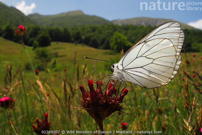 Black veined white butterfly (Aporia crataegi) on Carthusian pink (Dianthus carthusianorum) in a mountain pasture, Stenje region, Galicica National Park, Macedonia, June 2009  ,  ARTHROPODS,BUTTERFLIES,CARYOPHYLLACEAE,DAVID MAITLAND,DICOTYLEDONS,EUROPE,FLOWERS,INSECTS,INVERTEBRATES,LEPIDOPTERA,MACEDONIA,NP,PLANTS,RESERVE,WINGS,WWE,National Park  ,  Wild Wonders of Europe / Maitland