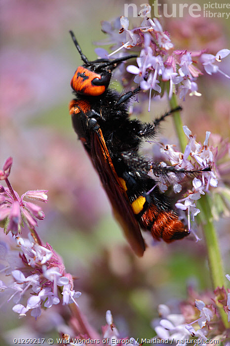 Female Giant / Mammoth wasp (Megascolia flavifrons) on flower, Stenje region, Galicica National Park, Macedonia, June 2009  ,  DAVID MAITLAND,EUROPE,FEEDING,FEMALES,FLOWERS,HYMENOPTERA,INSECTS,INVERTEBRATES,MACEDONIA,NP,RESERVE,VERTICAL,WASPS,WWE,National Park  ,  Wild Wonders of Europe / Maitland