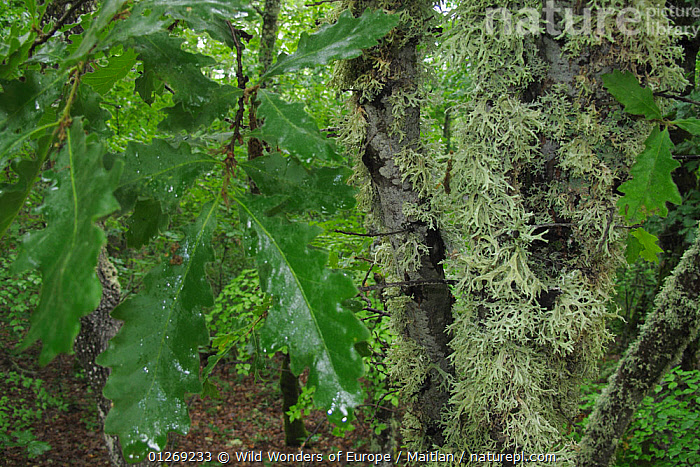 Oak leaves and lichen in forest, Konjsko region, Galicica National Park, Macedonia, June 2009  ,  BRANCHES,DAVID MAITLAND,DICOTYLEDONS,EUROPE,FAGACEAE,FORESTS,LEAVES,LICHENS,MACEDONIA,NP,PLANTS,RESERVE,WOODLANDS,WWE,National Park  ,  Wild Wonders of Europe / Maitlan