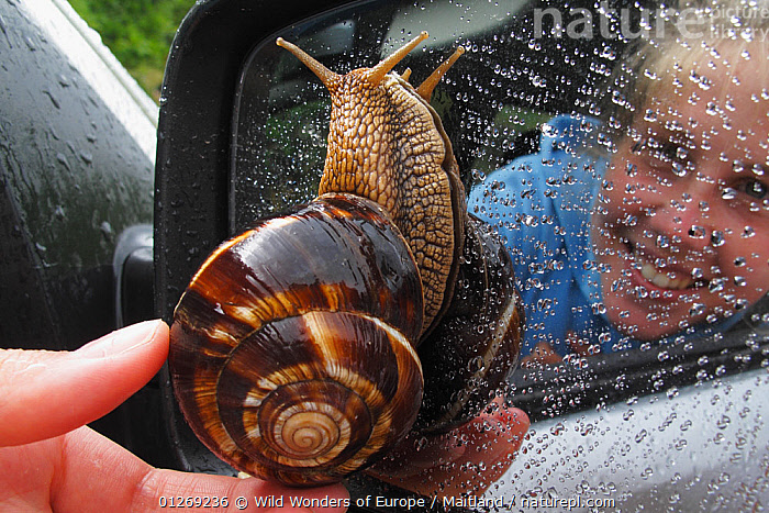Turkish / Balkan edible snail (Helix lucorum) on car wing mirror with person taking it off, Stenje region, Galicica National Park, Macedonia, June 2009, Model released  ,  CARS,DAVID MAITLAND,EUROPE,GASTROPODS,INVERTEBRATES,MACEDONIA,MIRRORS,MOLLUSCS,NP,PEOPLE,REFLECTIONS,RESERVE,SIZE,SNAILS,VEHICLES,WWE,National Park  ,  Wild Wonders of Europe / Maitland