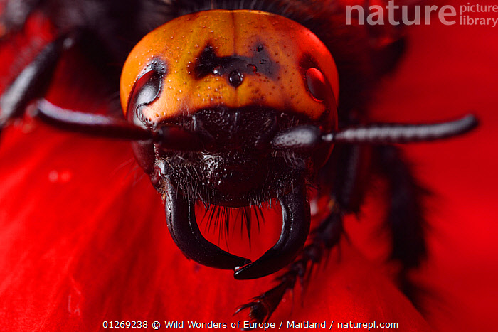 Female Giant / Mammoth wasp (Megascolia flavifrons) close-up of head showing short antennae and long curved jaws or mandibles, Stenje region, Galicica National Park, Macedonia, June 2009  ,  DAVID MAITLAND,EUROPE,FEMALES,HEADS,HYMENOPTERA,INSECTS,INVERTEBRATES,MACEDONIA,NP,PORTRAITS,RESERVE,WASPS,WWE,National Park  ,  Wild Wonders of Europe / Maitland
