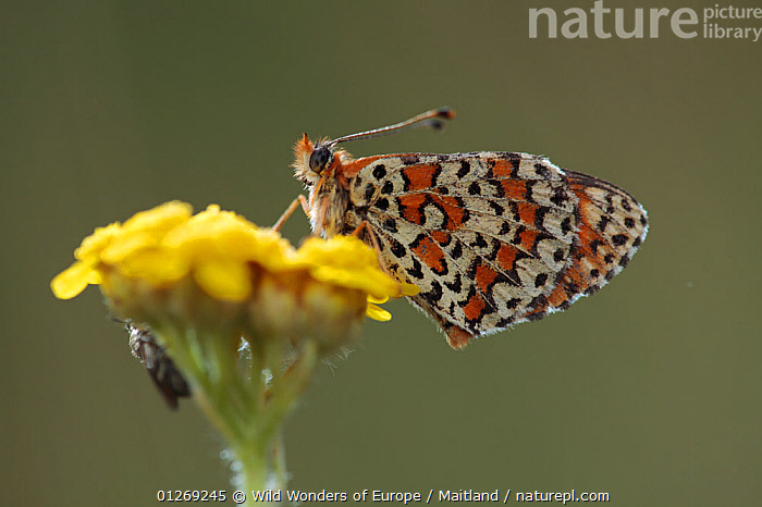 Spotted fritillary butterfly (Melitaea didyma) on flower, Mount Baba, Galicica National Park, Macedonia, June 2009  ,  ARTHROPODS,BUTTERFLIES,CUTOUT,DAVID MAITLAND,EUROPE,FLOWERS,INSECTS,INVERTEBRATES,LEPIDOPTERA,MACEDONIA,NP,PATTERNS,RESERVE,WINGS,WWE,National Park  ,  Wild Wonders of Europe / Maitland