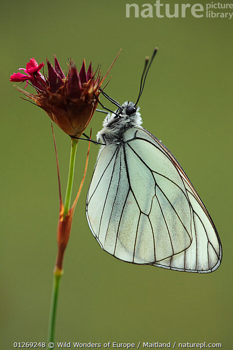 Black veined white butterfly (Aporia crataegi) on Pink (Dianthus sp) flower, Mount Baba, Galicica National Park, Macedonia, June 2009  ,  ARTHROPODS,BUTTERFLIES,CARYOPHYLLACEAE,CUTOUT,DAVID MAITLAND,DICOTYLEDONS,EUROPE,FLOWERS,INSECTS,INVERTEBRATES,LEPIDOPTERA,MACEDONIA,NP,PLANTS,RESERVE,VERTICAL,WINGS,WWE,National Park  ,  Wild Wonders of Europe / Maitland