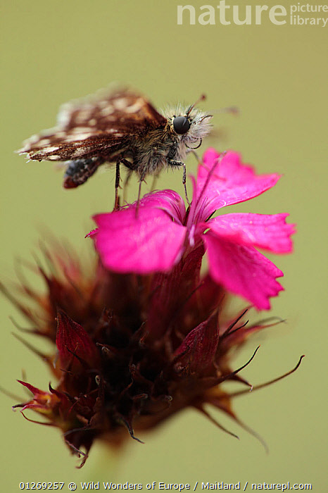 Grizzled skipper butterfly (Pyrgus malvae) on Pink (Dianthus sp) flower, Mount Baba, Galicica National Park, Macedonia, June 2009  ,  CARYOPHYLLACEAE,DAVID MAITLAND,DICOTYLEDONS,EUROPE,FLOWERS,INSECTS,INVERTEBRATES,LEPIDOPTERA,MACEDONIA,NP,PINK,PLANTS,RESERVE,SKIPPER BUTTERFLIES,SKIPPERS,VERTICAL,WWE,National Park,Butterflies  ,  Wild Wonders of Europe / Maitland