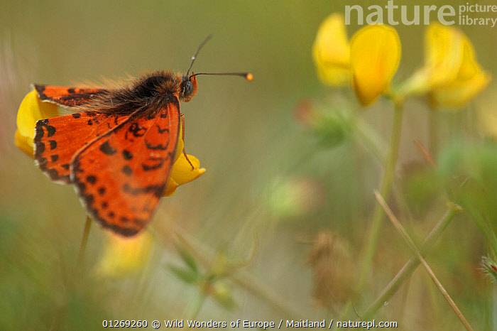 Spotted fritillary butterfly (Melitaea didyma) on Trefoil (Lotus sp) flowers, Mount Baba, Galicica National Park, Macedonia, June 2009  ,  ARTHROPODS,BUTTERFLIES,DAVID MAITLAND,DICOTYLEDONS,EUROPE,FABACEAE,INSECTS,INVERTEBRATES,LEPIDOPTERA,MACEDONIA,NP,ORANGE,PLANTS,RESERVE,WINGS,WWE,National Park  ,  Wild Wonders of Europe / Maitland