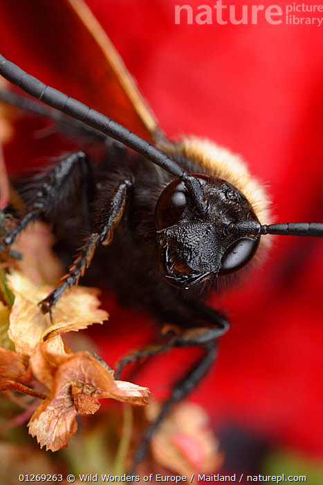 Male Giant / Mammoth wasp (Megascolia flavifrons) close-up of face showing long antennae and small jaws, Stenje region, Galicica National Park, Macedonia, June 2009  ,  DAVID MAITLAND,EUROPE,HEADS,HYMENOPTERA,INSECTS,INVERTEBRATES,MACEDONIA,MALES,NP,RESERVE,VERTICAL,WASPS,WWE,National Park  ,  Wild Wonders of Europe / Maitland