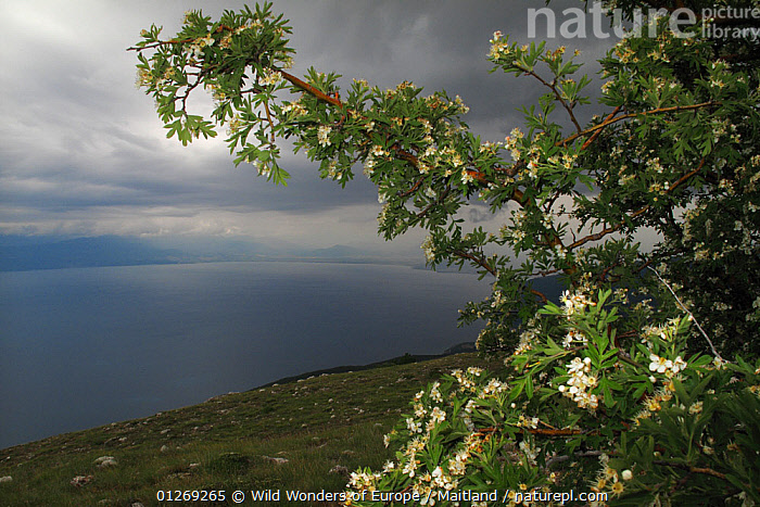 View from Mount Baba of Lake Ohrid, Galicica National Park, Macedonia, June 2009  ,  CLOUDS,DAVID MAITLAND,EUROPE,FLOWERS,LAKES,LANDSCAPES,MACEDONIA,NP,RESERVE,WWE,Weather,National Park  ,  Wild Wonders of Europe / Maitland