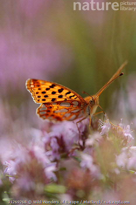 Queen of spain fritillary butterfly (Issoria lathonia) feeding on flower, Galicica National Park, Macedonia, June 2009  ,  ARTHROPODS, BUTTERFLIES, david-maitland, EUROPE, FEEDING, FLOWERS, INSECTS, INVERTEBRATES, LEPIDOPTERA, Macedonia, NP, RESERVE, VERTICAL, WWE,National Park  ,  Wild Wonders of Europe / Maitland