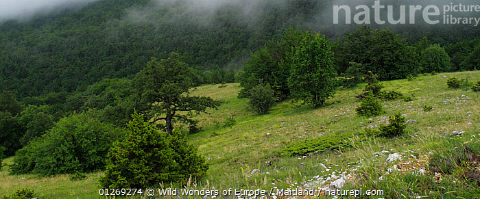 Forest edge and upland pasture just below the cloud line above Stenje village region of Lake Macro Prespa, Galicica National Park, Macedonia, June 2009  ,  CLOUDS,DAVID MAITLAND,EUROPE,LANDSCAPES,MACEDONIA,NP,RESERVE,TREES,WWE,Weather,National Park,PLANTS  ,  Wild Wonders of Europe / Maitland