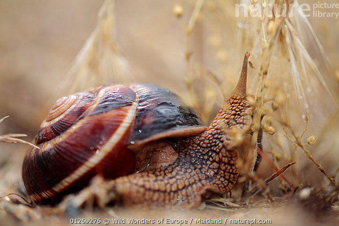 Turkish / Balkan edible snail (Helix lucorum) Stenje region, Galicica National Park, Macedonia, June 2009  ,  DAVID MAITLAND,EUROPE,GASTROPODS,INVERTEBRATES,MACEDONIA,MOLLUSCS,NP,RESERVE,SNAILS,WWE,National Park  ,  Wild Wonders of Europe / Maitland