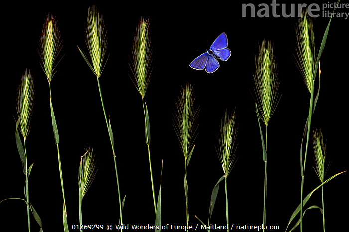 Wall barley (Hordeum murinum) and an Escher's blue butterfly (Polyommatus escheri) Stenje region, Galicica National Park, Macedonia, June 2009, dead insects and plants placed directly on scanner  ,  ARTY SHOTS,BLUE,BUTTERFLIES,DAVID MAITLAND,EUROPE,GRAMINEAE,GRASSES,INSECTS,INVERTEBRATES,LEPIDOPTERA,MACEDONIA,MIXED SPECIES,MONOCOTYLEDONS,NP,PLANTS,POACEAE,RESERVE,SEEDS,STILL LIFE,WWE,National Park  ,  Wild Wonders of Europe / Maitland