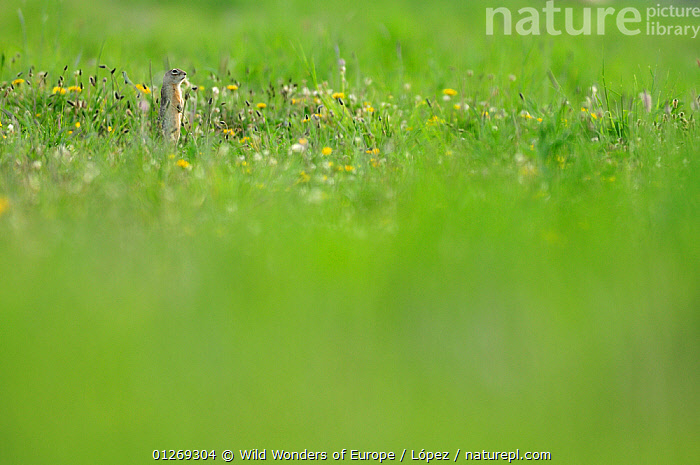 Spotted souslik (Spermophilus suslicus) standing alert on hind legs, Werbkowice, Zamosc, Poland, May 2009  ,  BEHAVIOUR,DIEGO L�PEZ,EASTERN EUROPE,EUROPE,FLOWERS,GROUND SQUIRRELS,MAMMALS,MEADOWLAND,POLAND,RODENTS,STANDING,SUSLIK,VERTEBRATES,WWE,Grassland,Squirrels  ,  Wild Wonders of Europe / López