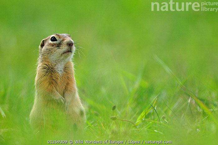 Spotted souslik (Spermophilus suslicus) sitting, Werbkowice, Zamosc, Poland, May 2009  ,  CUTE,DIEGO L�PEZ,EASTERN EUROPE,EUROPE,GROUND SQUIRRELS,MAMMALS,POLAND,PORTRAITS,RODENTS,SUSLIK,VERTEBRATES,WWE,Squirrels  ,  Wild Wonders of Europe / López