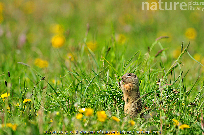 Spotted souslik (Spermophilus suslicus) feeding, Werbkowice, Zamosc, Poland, May 2009  ,  BEHAVIOUR,CUTE,DIEGO L�PEZ,EASTERN EUROPE,EUROPE,FEEDING,FLOWERS,GROUND SQUIRRELS,MAMMALS,POLAND,PROFILE,RODENTS,SUSLIK,VERTEBRATES,WWE,Squirrels  ,  Wild Wonders of Europe / López