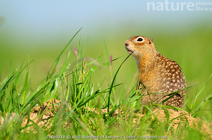 Spotted souslik (Spermophilus suslicus) by hole, Werbkowice, Zamosc, Poland, May 2009  ,  DIEGO L�PEZ,EASTERN EUROPE,EUROPE,GROUND SQUIRRELS,MAMMALS,POLAND,RODENTS,SPOTS,SUSLIK,VERTEBRATES,WWE,Squirrels  ,  Wild Wonders of Europe / López