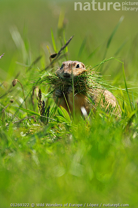 Spotted souslik (Spermophilus suslicus) carrying grass, Werbkowice, Zamosc, Poland, May 2009  ,  BEHAVIOUR,DIEGO L�PEZ,EASTERN EUROPE,EUROPE,GROUND SQUIRRELS,MAMMALS,POLAND,RODENTS,SUSLIK,VERTEBRATES,VERTICAL,WWE,Squirrels  ,  Wild Wonders of Europe / López