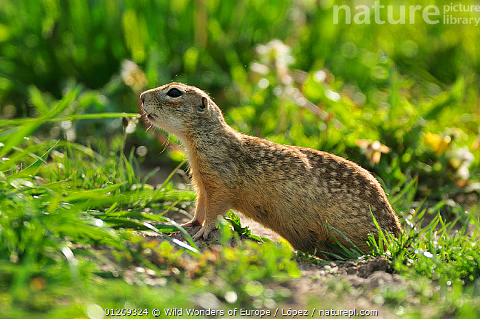 Spotted souslik (Spermophilus suslicus) profile, Werbkowice, Zamosc, Poland, May 2009  ,  DIEGO L�PEZ,EASTERN EUROPE,EUROPE,GROUND SQUIRRELS,MAMMALS,POLAND,PROFILE,RODENTS,SPOTS,SUSLIK,VERTEBRATES,WWE,Squirrels  ,  Wild Wonders of Europe / López