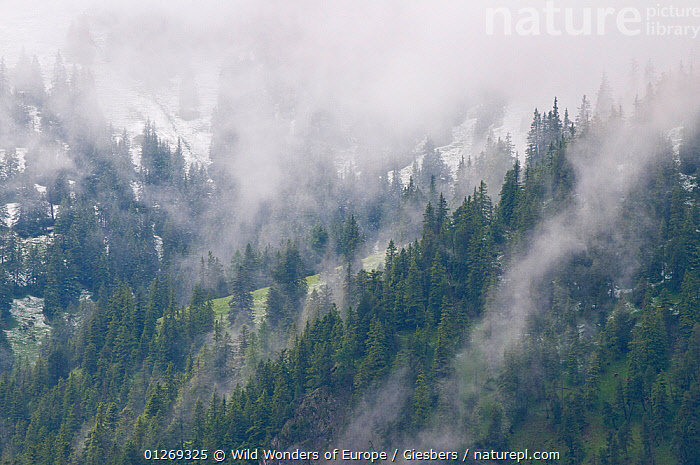 European larch trees (Larix decidua) on mountain slopes with snow line at high altitude and low clouds, Liechtenstein, June 2009  ,  ALPINE,ALPS,CLOUDS,CONIFERS,EDWIN GIESBERS,EUROPE,GYMNOSPERMS,LANDSCAPES,LIECHTENSTEIN,MIST,PLANTS,SNOW,TAXACEAE,TREES,WWE,Weather  ,  Wild Wonders of Europe / Giesbers