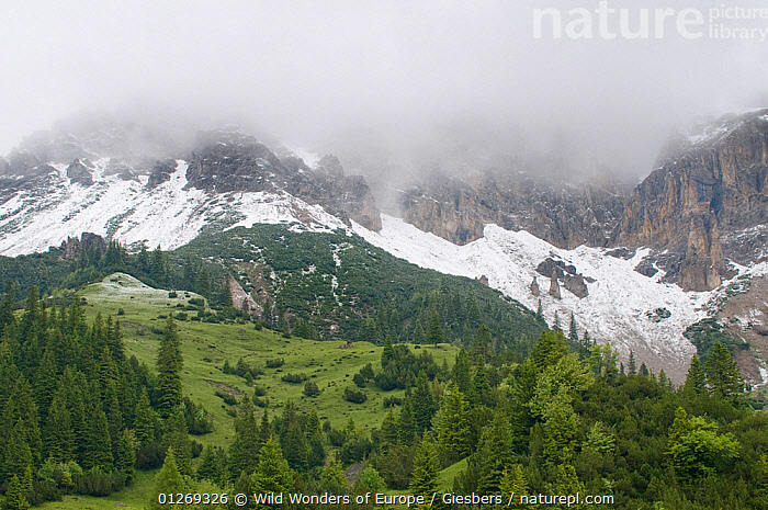 Fresh snow below mountains hidden in clouds with European larch trees (Larix decidua) growing, Liechtenstein, June 2009  ,  ALPINE,ALPS,CLOUDS,CONIFERS,EDWIN GIESBERS,EUROPE,GYMNOSPERMS,LANDSCAPES,LIECHTENSTEIN,PLANTS,SNOW,TAXACEAE,TREES,WWE,Weather  ,  Wild Wonders of Europe / Giesbers