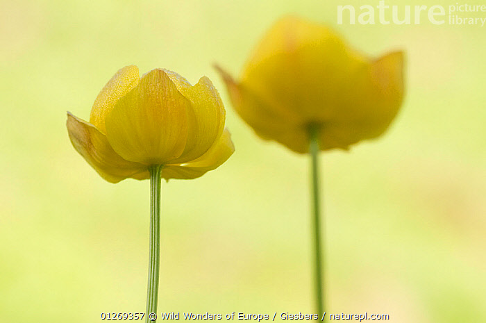 RF- Two flowering Globeflowers (Trollius europaeus) Liechtenstein. June. (This image may be licensed either as rights managed or royalty free.)  ,  ALPINE,alps,ARTY-SHOTS,DICOTYLEDONS,edwin-giesbers,EUROPE,FLOWERS,Liechtenstein,PLANTS,RANUNCULACEAE,WWE,YELLOW RF16Q4,TROLLIUS EUROPAEUS,Plant,Vascular plant,Flowering plant,Dicot,Globeflower,European globeflower,Plantae,Plant,Tracheophyta,Vascular plant,Magnoliopsida,Flowering plant,Angiosperm,Seed plant,Spermatophyte,Spermatophytina,Angiospermae,Ranunculales,Dicot,Dicotyledon,Ranunculanae,Ranunculaceae,Trollius,Globeflower,Trollius europaeus,European globeflower,Fragility,Imitation,Alike,Partnership,Colour,Yellow,Two,Nobody,Pastel,Europe,Central Europe,Liechtenstein,Principality of Liechtenstein,Copy Space,Close Up,Camera Focus,Selective Focus,Focus On Background,Soft Focus,Soft Focused,Flower,Stem,Day,Beautiful,Nature,Negative space,Shallow depth of field,Low depth of field,Two Objects,Flowerhead,RF,Royalty free,RFCAT1,RF16Q4,  ,  Wild  Wonders of Europe / Giesbers