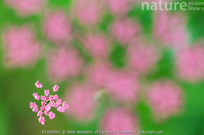 Alpine lovage (Ligusticum mutellina) flower head with one cluster in focus, Liechtenstein, June 2009, ABSTRACT,ALPINE,ALPS,APIACEAE,ARTY SHOTS,DICOTYLEDONS,EDWIN GIESBERS,EUROPE,FLOWERS,LIECHTENSTEIN,PINK,PLANTS,UMBELLIFERAE,WWE,,Pastel,, Wild Wonders of Europe / Giesbers