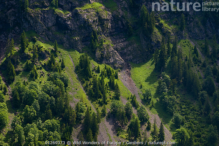 Mountain slope with trees on it near Steg, Liechtenstein, June 2009  ,  ALPINE,ALPS,EDWIN GIESBERS,EUROPE,HIGH ANGLE SHOT,LANDSCAPES,LIECHTENSTEIN,ROCKS,TREES,WWE,PLANTS  ,  Wild Wonders of Europe / Giesbers