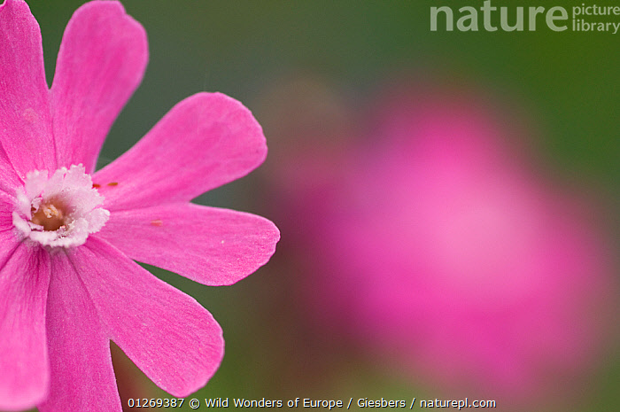 Red campion (Silene dioica) flower, Liechtenstein, June 2009, ALPINE,ALPS,CARYOPHYLLACEAE,CUTOUT,DICOTYLEDONS,EDWIN GIESBERS,EUROPE,FLOWERS,LIECHTENSTEIN,PINK,PLANTS,WWE,,Pastel,, Wild Wonders of Europe / Giesbers