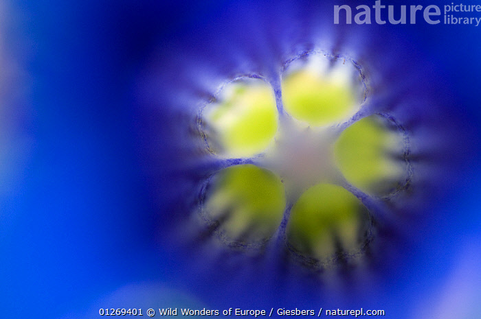 Stemless gentian (Gentiana clusii) close-up of flower, Liechtenstein, June 2009, ABSTRACT,ALPINE,ALPS,BLUE,CLOSE UPS,DICOTYLEDONS,EDWIN GIESBERS,EUROPE,FLOWERS,GENTIANACEAE,LIECHTENSTEIN,PLANTS,WWE,YELLOW, Wild Wonders of Europe / Giesbers