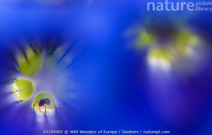 Stemless gentian (Gentiana clusii) flowers, an ant in one of them, Liechtenstein, June 2009. HIGHLY COMMENDED - Wildlife Photographer of the Year 2010.  ,  ABSTRACT,ALPINE,ALPS,ANTS,BLUE,DICOTYLEDONS,EDWIN GIESBERS,EUROPE,FLOWERS,GENTIANACEAE,HYMENOPTERA,INSECTS,LIECHTENSTEIN,PLANTS,WWE,YELLOW,Invertebrates  ,  Wild Wonders of Europe / Giesber