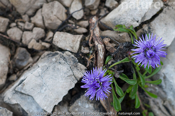 Two Globe daisy (Globularia cordifolia) flowers, Liechtenstein, June 2009  ,  ALPINE,ALPS,DICOTYLEDONS,EDWIN GIESBERS,EUROPE,FLOWERS,GLOCULARIACAEA,LIECHTENSTEIN,PLANTS,PURPLE,ROCKS,WWE  ,  Wild Wonders of Europe / Giesbers