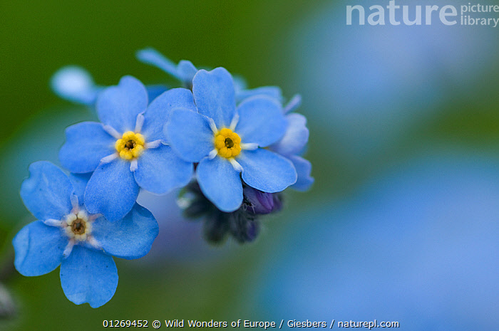 Alpine forget-me-not (Myosotis asiatica) in flower, Liechtenstein, June 2009, ALPINE, alps, ARTY-SHOTS, BLUE, BORAGINACEAE, DICOTYLEDONS, edwin-giesbers, EUROPE, FLOWERS, GROUPS, Liechtenstein, PLANTS, WWE, Wild Wonders of Europe / Giesbers