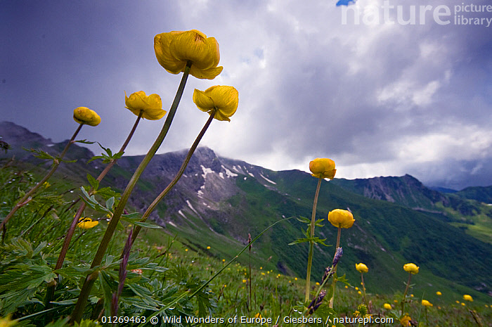 RF- Globeflower (Trollius europaeus) flowers on hillside in Liechtenstein. June 2009. (This image may be licensed either as rights managed or royalty free.)  ,  ALPINE,alps,DICOTYLEDONS,edwin-giesbers,EUROPE,FLOWERS,GROUPS,LANDSCAPES,Liechtenstein,MOUNTAINS,PLANTS,RANUNCULACEAE,WWE,YELLOW RF16Q4,TROLLIUS EUROPAEUS,Plant,Vascular plant,Flowering plant,Dicot,Globeflower,European globeflower,Plantae,Plant,Tracheophyta,Vascular plant,Magnoliopsida,Flowering plant,Angiosperm,Seed plant,Spermatophyte,Spermatophytina,Angiospermae,Ranunculales,Dicot,Dicotyledon,Ranunculanae,Ranunculaceae,Trollius,Globeflower,Trollius europaeus,European globeflower,Resilience,Resilient,Growth,Optimism,Optimistic,Threatening,Colour,Yellow,Nobody,Europe,Central Europe,Liechtenstein,Principality of Liechtenstein,Wildflower,Wildflowers,Flower,Stem,Hill,Sky,Cloud,Weather,Overcast,Day,Nature,RF,Royalty free,RFCAT1,RF16Q4,  ,  Wild  Wonders of Europe / Giesbers