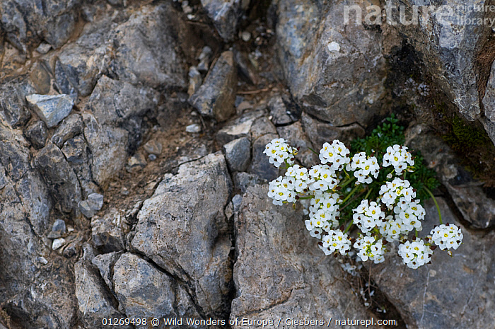 (Pritzelago alpina alpina)flowering on rocks, Liechtenstein, June 2009  ,  ALPINE,ALPS,BRASSICA,BRASSICACEAE,DICOTYLEDONS,EDWIN GIESBERS,EUROPE,FLOWERS,LIECHTENSTEIN,PLANTS,ROCKS,WHITE,WWE  ,  Wild Wonders of Europe / Giesbers