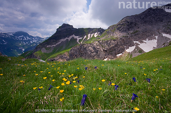 Globeflowers and Gentians growing in alpine landscape viewed from Augstenberg, Liechtenstein, June 2009  ,  ALPINE,ALPS,DICOTYLEDONS,EDWIN GIESBERS,EUROPE,FLOWERS,GENTIANACEAE,LANDSCAPES,LIECHTENSTEIN,MIXED SPECIES,MOUNTAINS,RANUNCULACEAE,WWE  ,  Wild Wonders of Europe / Giesbers