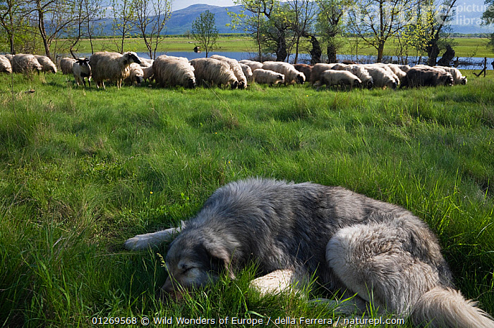 Tornjak mountain sheep dog resting near herd of sheep in a partially flooded area, Livanjsko Polje (karst plateau) Bosnia and Herzegovina, May 2009, ARTIODACTYLA,BOSNIA AND HERZEGOVINA,BOVIDS,EASTERN EUROPE,ELIO DELLA FERRERA,EUROPE,FLOODS,GROUPS,LANDSCAPES,LIVESTOCK,MAMMALS,MIXED SPECIES,SHEEP,SLEEPING,VERTEBRATES,WATER,WWE,Goats,Antelopes , PETS, Wild Wonders of Europe / della Ferrera