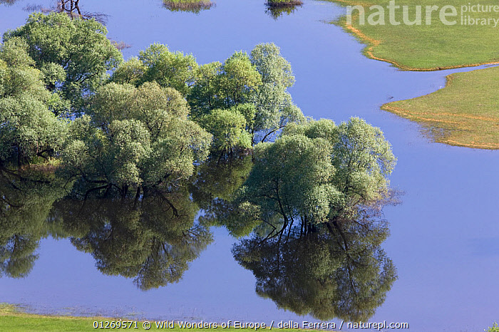 Flooded trees, mainly White willow (Salix alba) Livanjsko Polje (karst plateau) Bosnia and Herzegovinam May 2009  ,  BOSNIA AND HERZEGOVINA,DICOTYLEDONS,EASTERN EUROPE,ELIO DELLA FERRERA,EUROPE,FLOODS,HIGH ANGLE SHOT,LANDSCAPES,PLANTS,REFLECTIONS,SALICACEAE,TREES,WETLANDS,WWE  ,  Wild Wonders of Europe / della Ferrera
