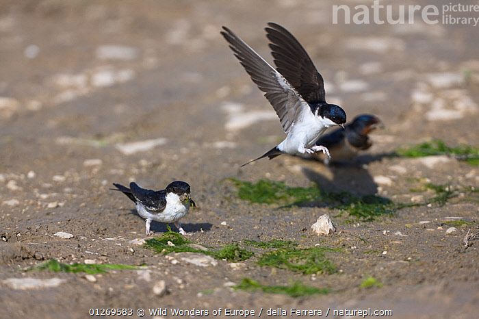 Two House martins (Delichon urbicum) and a Swallow (Hirundo rustica) collecting mud to build nests, Neretva river delta, Dalmatia region, Croatia, May 2009  ,  BEHAVIOUR, BIRDS, CROATIA, EASTERN-EUROPE, Elio-della-Ferrera, EUROPE, FLYING, LANDING, nesting-behaviour, SWALLOWS, THREE, VERTEBRATES, WETLANDS, WWE,Reproduction  ,  Wild Wonders of Europe / della Ferrera