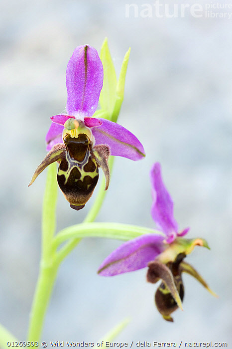 Woodcock orchid (Ophrys scolopax) in flower, Hutovo Blato Nature Park, Bosnia and Herzegovina, May 2009  ,  BOSNIA AND HERZEGOVINA,EASTERN EUROPE,ELIO DELLA FERRERA,EUROPE,FLOWERS,MONOCOTYLEDONS,ORCHIDACEAE,ORCHIDS,PLANTS,PURPLE,RESERVE,VERTICAL,WETLANDS,WWE  ,  Wild Wonders of Europe / della Ferrera