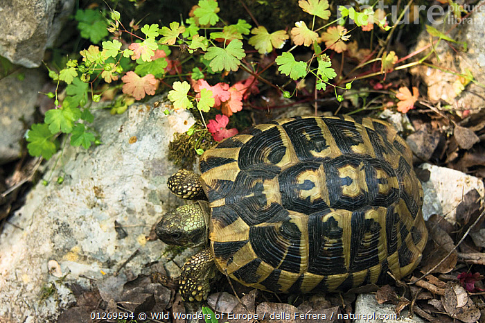 Hermann's / Dalmatian tortoise (Testudo hermanni hercegovinensis) near Svitava Lake, Hutovo Blato Nature Park, Bosnia and Herzegovina, May 2009, BOSNIA AND HERZEGOVINA,CHELONIA,EASTERN EUROPE,ELIO DELLA FERRERA,EUROPE,HIGH ANGLE SHOT,PATTERNS,REPTILES,RESERVE,SHELLS,TORTOISES,VERTEBRATES,WETLANDS,WWE, Tortoises, Wild Wonders of Europe / della Ferrera