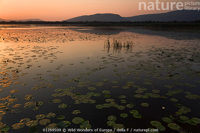 Yellow water lilies (Nuphar lutea) and White water lilies (Nymphaea alba) on Deransko Lake at sunset, Hutovo Blato Nature Park, Bosnia and Herzegovina, May 2009 WWE OUTDOOR EXHIBITION.  ,  BOSNIA AND HERZEGOVINA,DICOTYLEDONS,EASTERN EUROPE,ELIO DELLA FERRERA,EUROPE,LAKES,LANDSCAPES,LOTUS,MIXED SPECIES,NYMPHAEACEAE,ORANGE,OUTDOOR EXHIBITION,PLANTS,REFLECTIONS,RESERVE,SILHOUETTES,SUNSET,WATER LILIES,WETLANDS,WWE  ,  Wild Wonders of Europe / della F