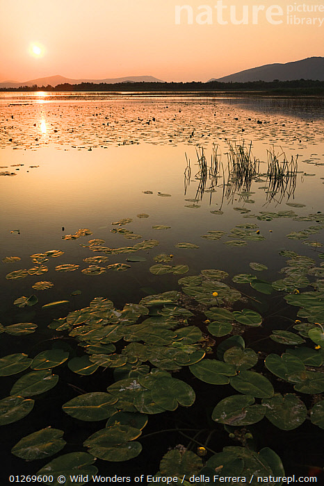 Yellow water lilies (Nuphar lutea) and White water lilies (Nymphaea alba) on Deransko Lake at sunset, Hutovo Blato Nature Park, Bosnia and Herzegovina, May 2009, BOSNIA AND HERZEGOVINA,DICOTYLEDONS,EASTERN EUROPE,ELIO DELLA FERRERA,EUROPE,LAKES,LANDSCAPES,LEAVES,LOTUS,MIXED SPEICES,NYMPHAEACEAE,ORANGE,PLANTS,REFLECTIONS,RESERVE,SILHOUETTES,SUNSET,VERTICAL,WATER LILIES,WETLANDS,WWE, Wild Wonders of Europe / della Ferrera