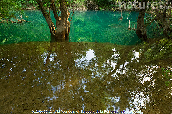 Ash tree (probably Fraxinus angustifolia) reflected in flood water in a forest along the Trebizat River, Bosnia and Herzegovina, May 2009, BOSNIA AND HERZEGOVINA,DICOTYLEDONS,EASTERN EUROPE,ELIO DELLA FERRERA,EUROPE,FLOODS,LANDSCAPES,OLEACEAE,PLANTS,REFLECTIONS,TREES,WATER,WETLANDS,WWE, Wild Wonders of Europe / della Ferrera