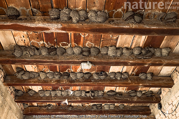 Nesting colony of House martins (Delichion urbicum) in a building, Mu�ilovcica village, Lonjsko Polje Nature Park, Sisack-Moslavina county, Slavonia region, Posavina area, Croatia, June 2009, BIRDS, BUILDINGS, CROATIA, Elio-della-Ferrera, EUROPE, GROUPS, NESTS, RESERVE, SWALLOWS, VERTEBRATES, WWE, Wild Wonders of Europe / della Ferrera