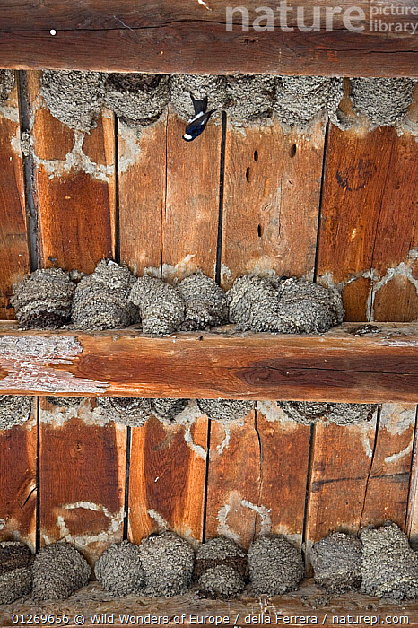 Nesting colony of House martins (Delichion urbicum) in a building, Mu�ilovcica village, Lonjsko Polje Nature Park, Sisack-Moslavina county, Slavonia region, Posavina area, Croatia, June 2009  ,  BIRDS, BUILDINGS, CROATIA, Elio-della-Ferrera, EUROPE, GROUPS, NESTS, RESERVE, SWALLOWS, VERTEBRATES, VERTICAL, WETLANDS, WWE  ,  Wild Wonders of Europe / della Ferrera