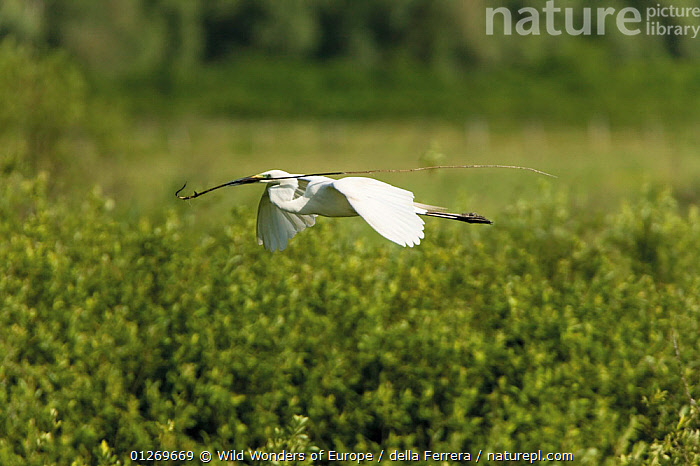Great white heron (Ardea alba) in flight carrying nesting material, over the Krapje dol heronry, near Krapje village, Lonjsko Polje Nature Park, Sisack-Moslavina county, Slavonia region, Posavina area, Croatia, June 2009  ,  BEHAVIOUR, BIRDS, CROATIA, egretta alba, Elio-della-Ferrera, EUROPE, FLYING, great white heron, HERONS, nesting-material, RESERVE, VERTEBRATES, WETLANDS, WWE  ,  Wild Wonders of Europe / della Ferrera