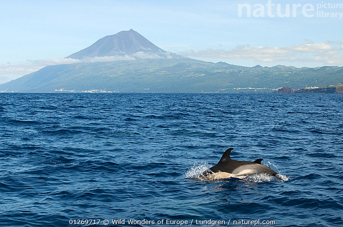 Common dolphins (Delphinus delphis) porpoising with Pico peak on Pico island in the distance, Azores, Portugal, June 2009  ,  ATLANTIC,CETACEANS,COASTS,DOLPHINS,EUROPE,ISLANDS,LANDSCAPES,MAGNUS LUNDGREN,MAMMALS,MARINE,MOUNTAINS,PORTUGAL,SURFACE,TEMPERATE,TWO,VERTEBRATES,WWE  ,  Wild Wonders of Europe / Lundgren