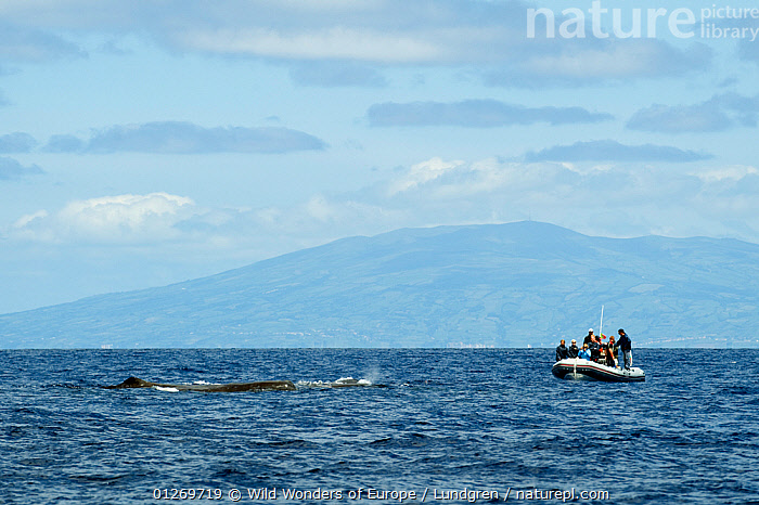 Whale watching boat near a whale, Pico, Azores, Portugal, June 2009  ,  ATLANTIC,BOATS,CETACEANS,COASTAL WATERS,COASTS,EUROPE,INFLATABLE BOATS,LANDSCAPES,MAGNUS LUNDGREN,MARINE,PEOPLE,PORTUGAL,RIBS,TEMPERATE,TOURISM,UNDERWATER,WHALES,WWE,AZORES, MOTORBOATS  ,  Wild Wonders of Europe / Lundgren