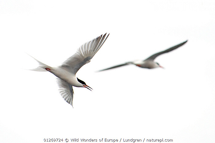 Common tern (Sterna hirundo) in flight, Pico, Azores, Portugal, June 2009  ,  BIRDS,CUTOUT,EUROPE,FLYING,LOW ANGLE SHOT,MAGNUS LUNDGREN,PORTUGAL,SEABIRDS,TERNS,TWO,VERTEBRATES,WHITE,WWE  ,  Wild Wonders of Europe / Lundgren