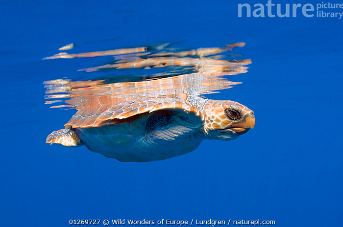 Loggerhead turtle (Caretta caretta) swimming with the top of its shell just above the water surface, Pico, Azores, Portugal, June 2009  ,  ATLANTIC,CHELONIA,ENDANGERED,EUROPE,MAGNUS LUNDGREN,MARINE,PORTUGAL,REFLECTIONS,REPTILES,SEA TURTLES,TEMPERATE,TURTLES,UNDERWATER,WWE,AZORES, Turtles  ,  Wild Wonders of Europe / Lundgren