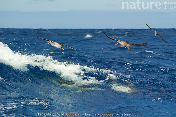 Cory's shearwaters (Calonectris diomedea) and Common dolphins (Delpinus delpis) hunting Atlantic horse mackerels (Trachurus trachurus) close to the surface in a rough sea, Pico, Azores, Portugal, June 2009  ,  ATLANTIC,BEHAVIOUR,BIRDS,CETACEANS,DOLPHINS,EUROPE,FISH,FLYING,GROUPS,HUNTING,MACKEREL,MAGNUS LUNDGREN,MAMMALS,MARINE,MIXED SPECIES,OSTEICHTHYES,PORTUGAL,SEABIRDS,SHEARWATERS,SURFACE,TEMPERATE,VERTEBRATES,WAVES,WWE  ,  Wild Wonders of Europe / Lundgren